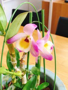 デンドロリウムの花
