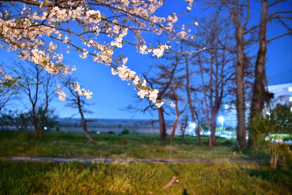 満州街道 夜桜見学